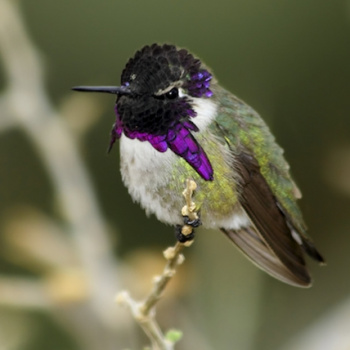 Modelamiento matemático revela como un colibrí usa efecto Doppler para cantar con las plumas durante el cortejo
