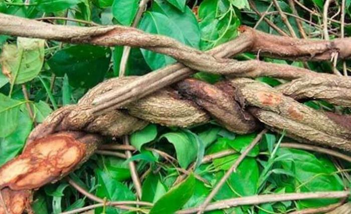 ayahuasca-liana_816x428